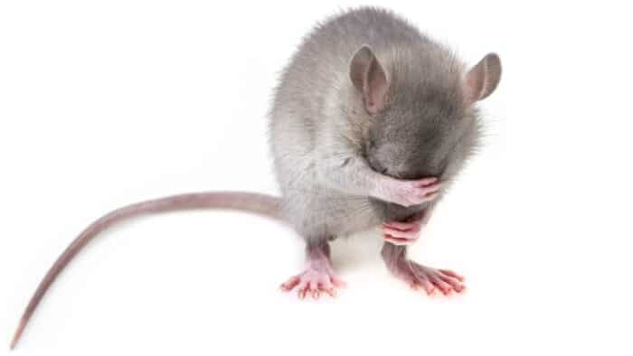 This Mouse Needs Rider Skills Training